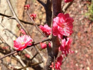 Japanese flower maple; prunus mume