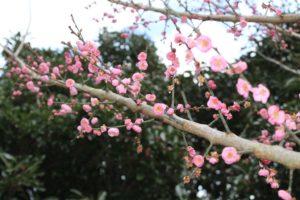 Japanese flowering apricot; prunus mume