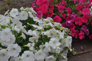 petunias red and white