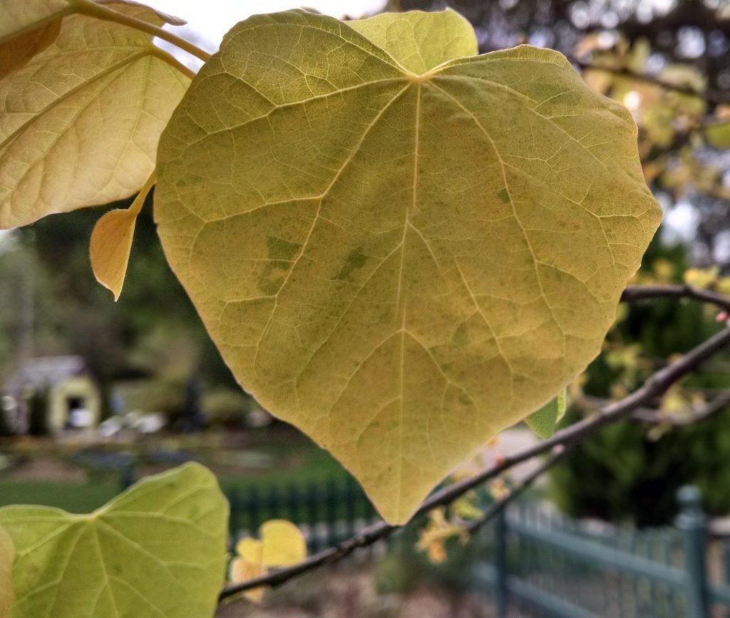 golden red bud leaf
