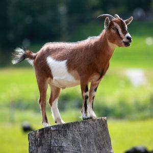 Goat standing on log