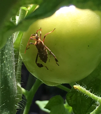 Adult leaffooted bug