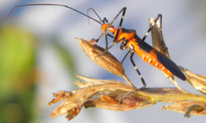 Adult milkweed assissin bug