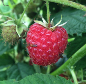 Cover photo for New Pesticide Available for Use Against Spotted Wing Drosophila in Blackberries and Raspberries for 2019