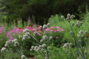 The rattlesnake master looks stunning against a backdrop of coneflowers, beebalm, blazing star, and culver's root.