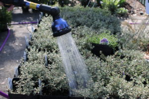 Image of watering a plant