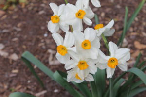 Cover photo for Spring Blooming Bulbs
