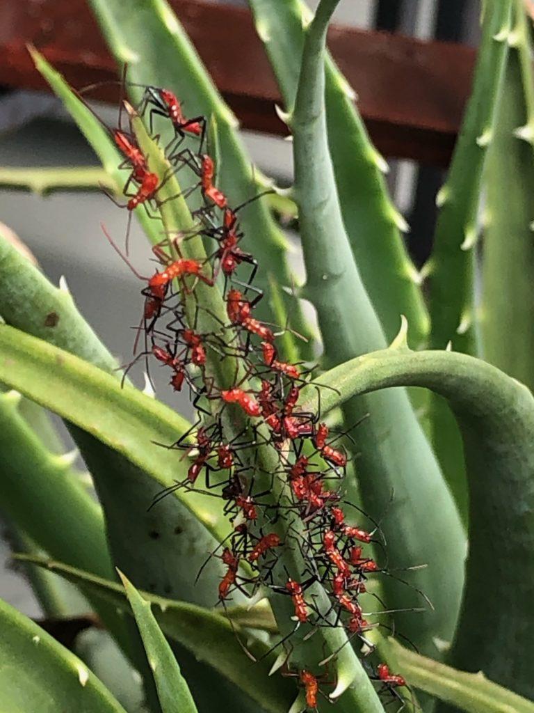 Ants on Aloe Plant