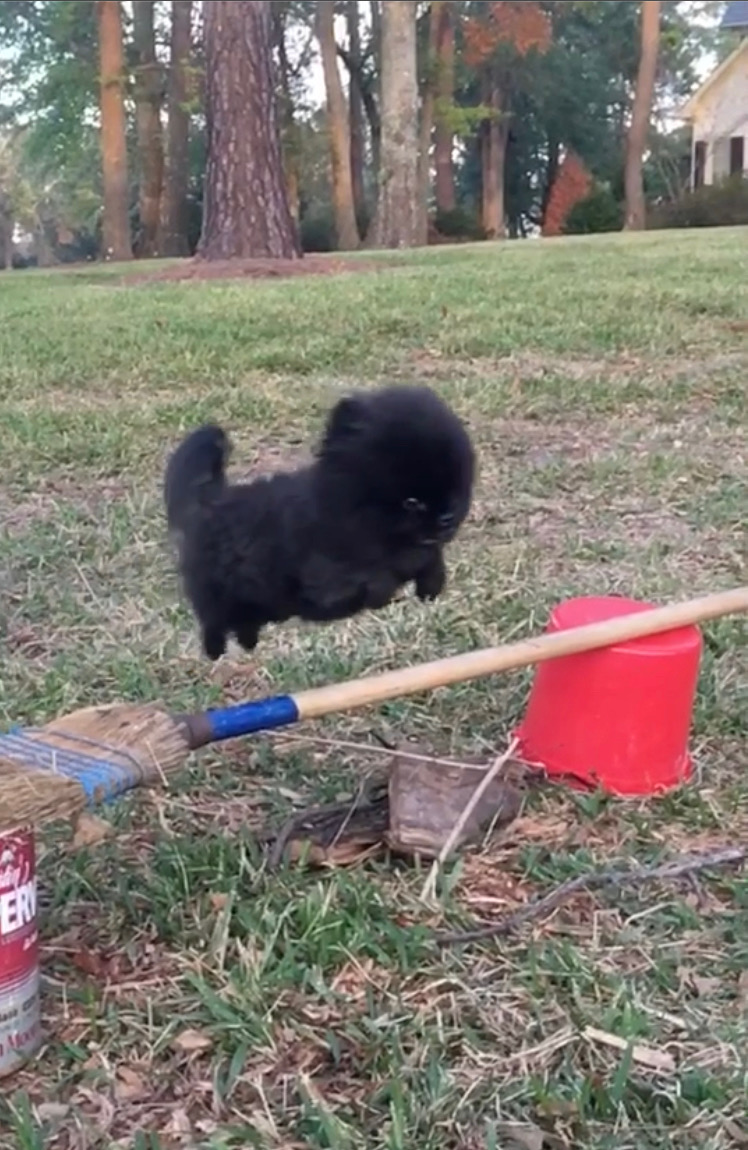 Ace-the high flying Pomeranian