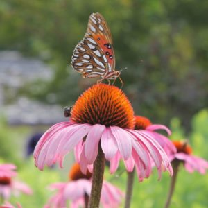 native cone flower and butterfly
